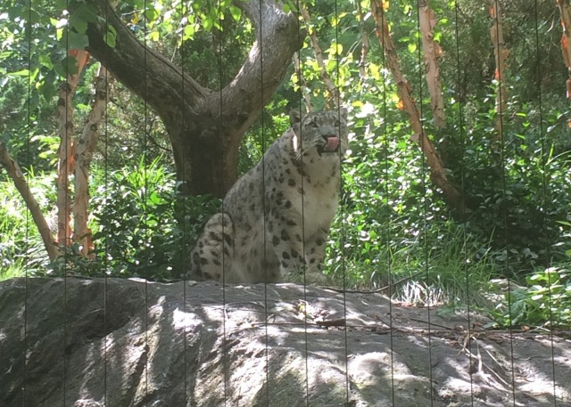 Snow leopard-Central Park Zoo